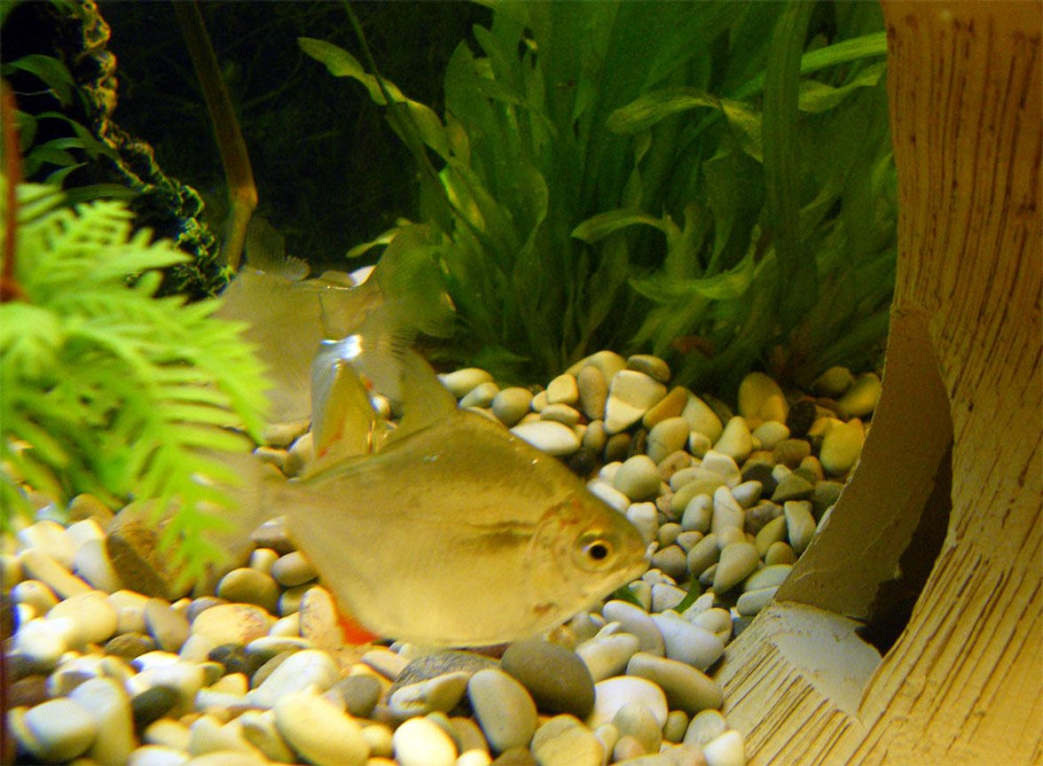 freshwater fish - metynnis argenteus - silver dollar stocking in 32 gallons tank - Silver Dollar
