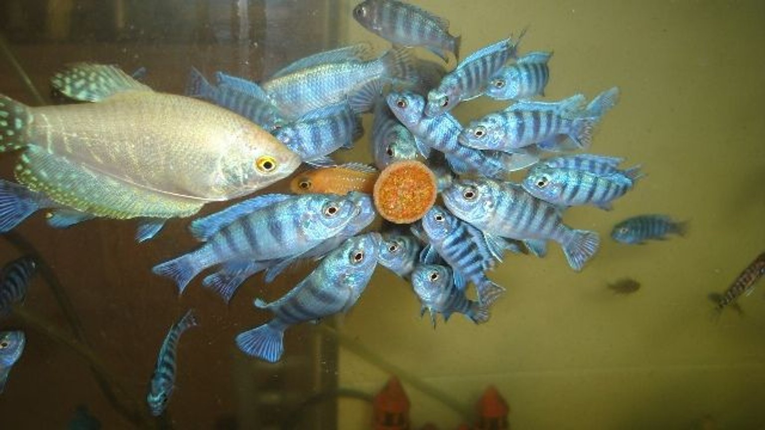 freshwater fish - trichogaster trichopterus - blue gourami stocking in 70 gallons tank - cichlid malawi gurami