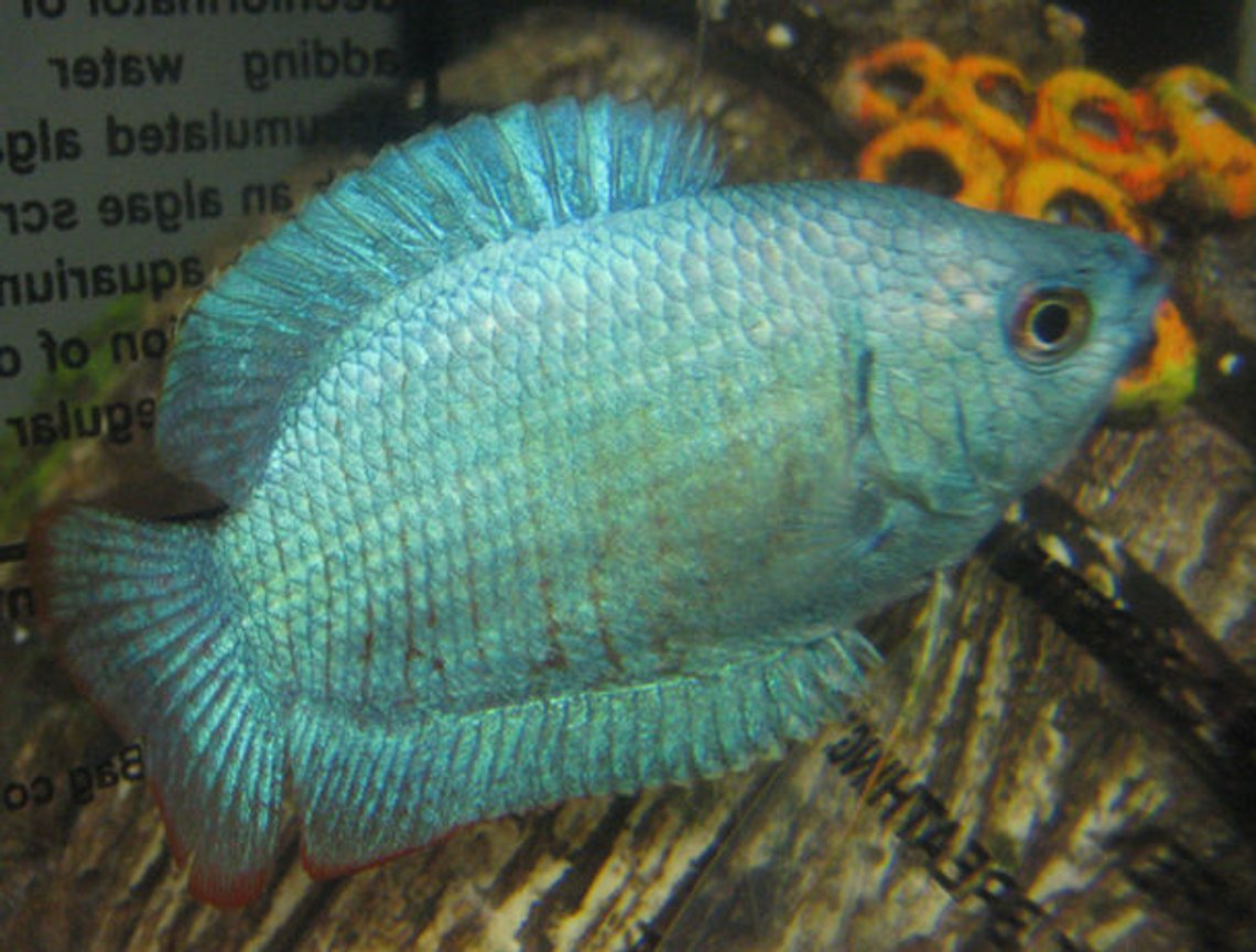 freshwater fish - colisa lalia - powder blue dwarf gourami stocking in 10 gallons tank - Dwarf Powder Blue Gourami