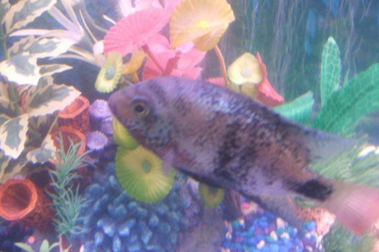 freshwater fish - cleithracara maronii - keyhole cichlid stocking in 30 gallons tank - pic