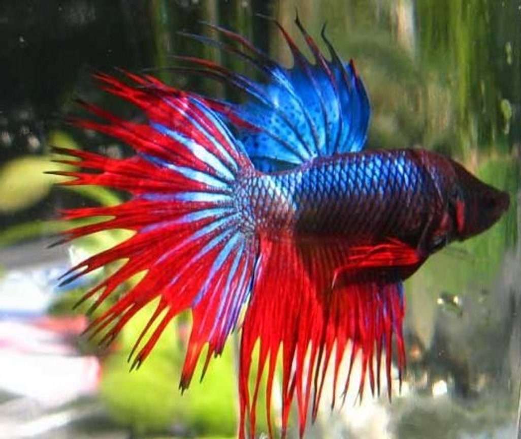 freshwater fish - betta splendens - crown tail betta stocking in 30 gallons tank - pic