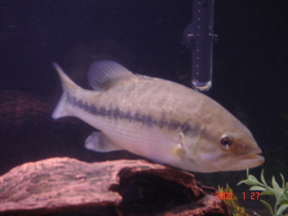 freshwater fish - micropterus salmoides - largemouth bass - largemouth bass -micropterus salmoides