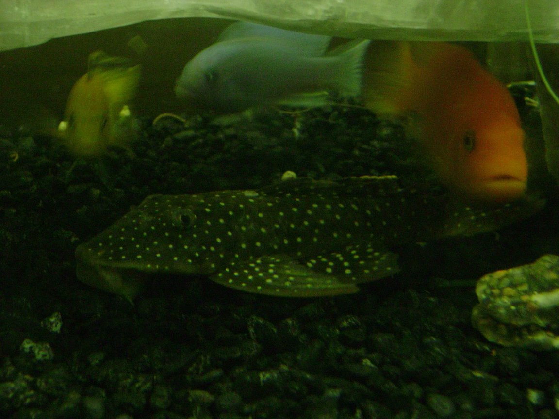 freshwater fish - parancistrus sp. - peppermint plecostomus (l-31) stocking in 120 gallons tank - pleco and africans