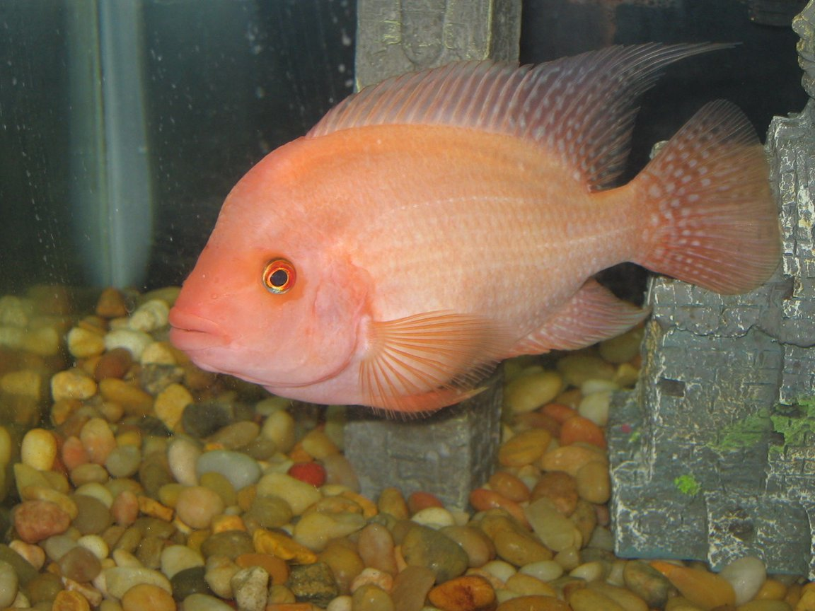 freshwater fish - amphilophus labiatus - red devil stocking in 30 gallons tank - Name is Jeb, he is a Midas, some also call him a Red Devil even tho truth is, Midas are Hybrids.