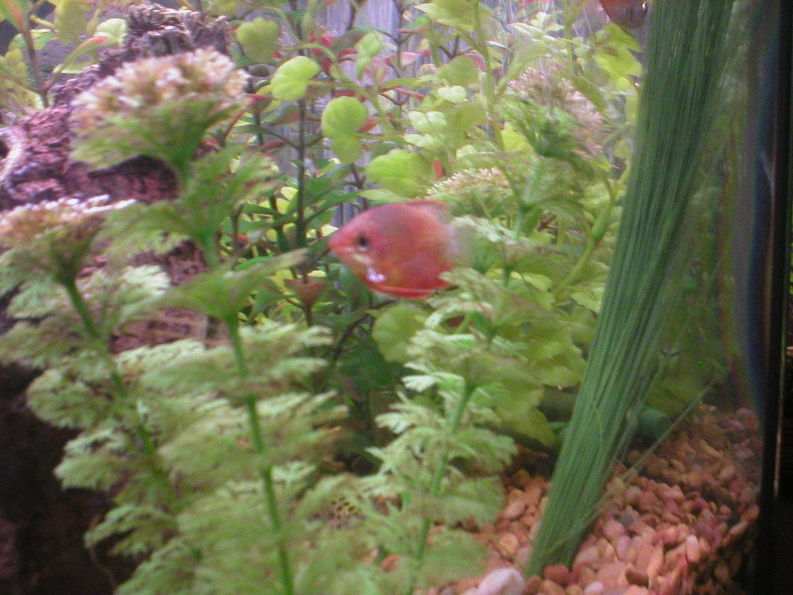 freshwater fish - colisa chuna - honey dwarf gourami stocking in 29 gallons tank - Honey Sunset Gourami