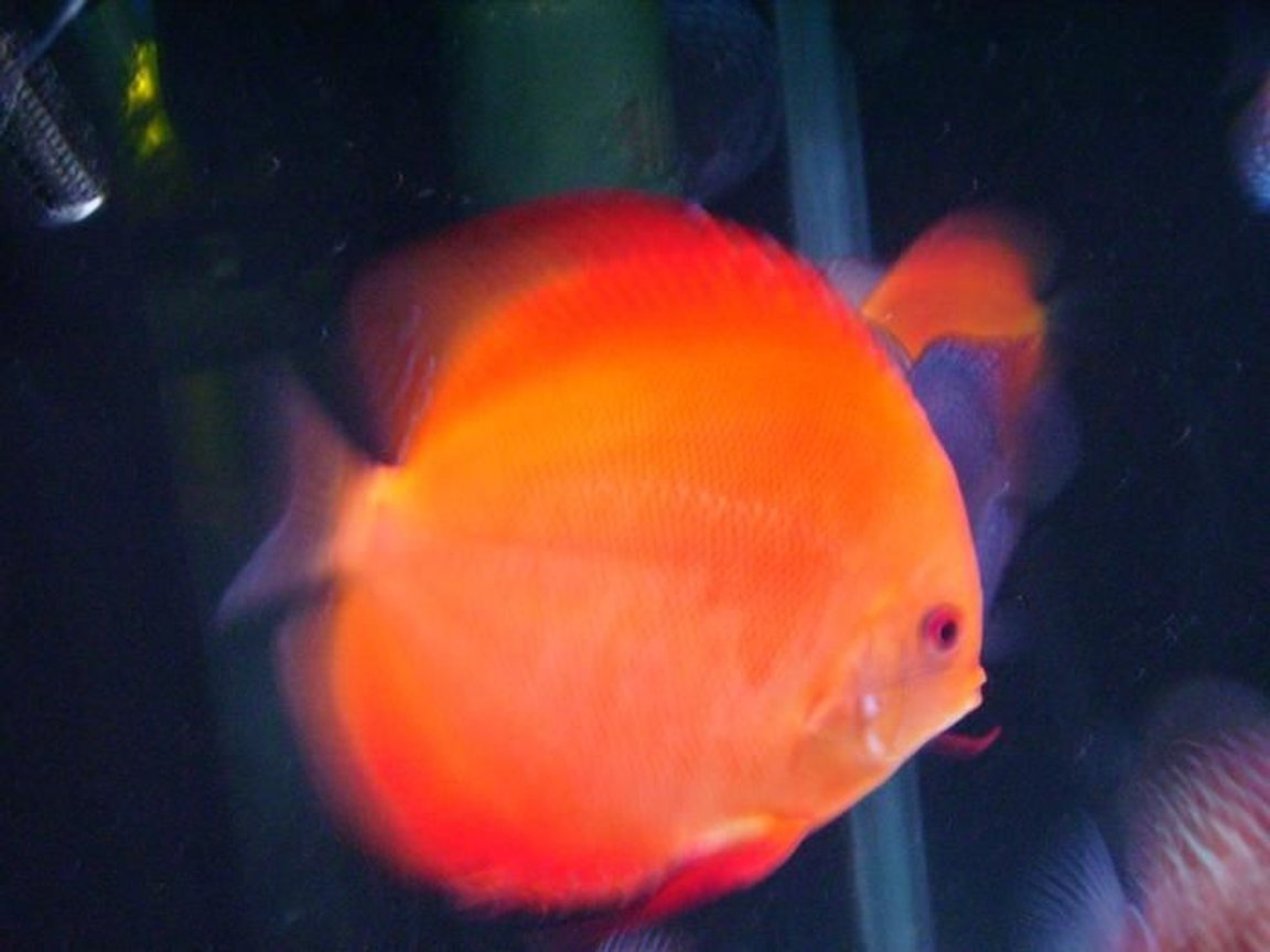 freshwater fish - super melon discus stocking in 150 gallons tank - The Super Melon