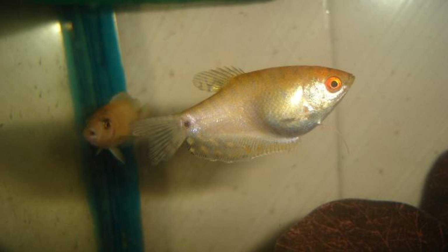 freshwater fish - trichogaster trichopterus - gold gourami stocking in 70 gallons tank - gourami