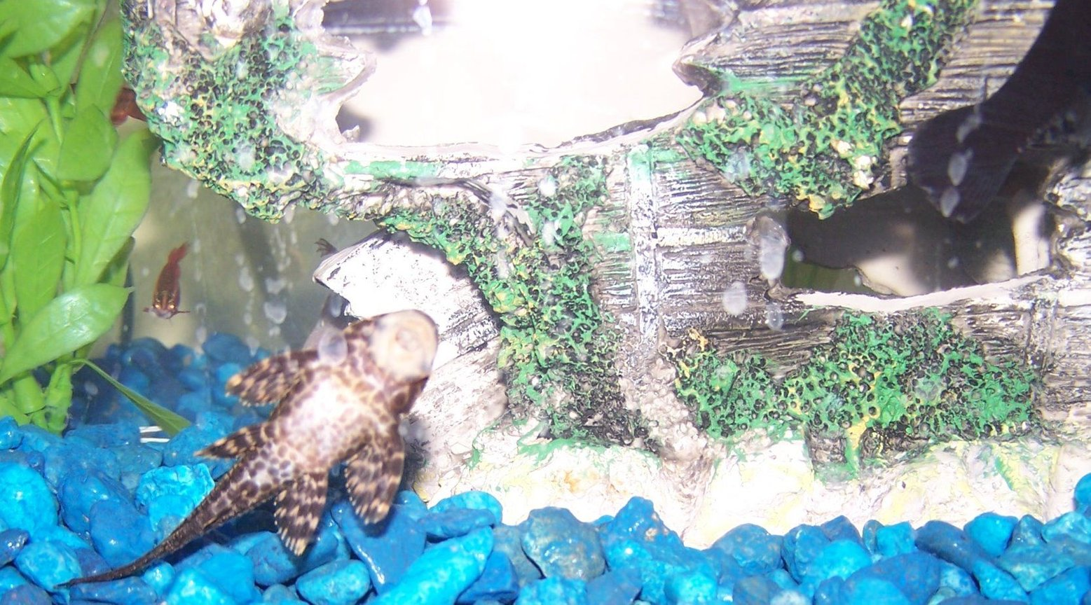 freshwater fish - glyptoperichthys gibbiceps - sailfin pleco (l-83) stocking in 29 gallons tank - pleco