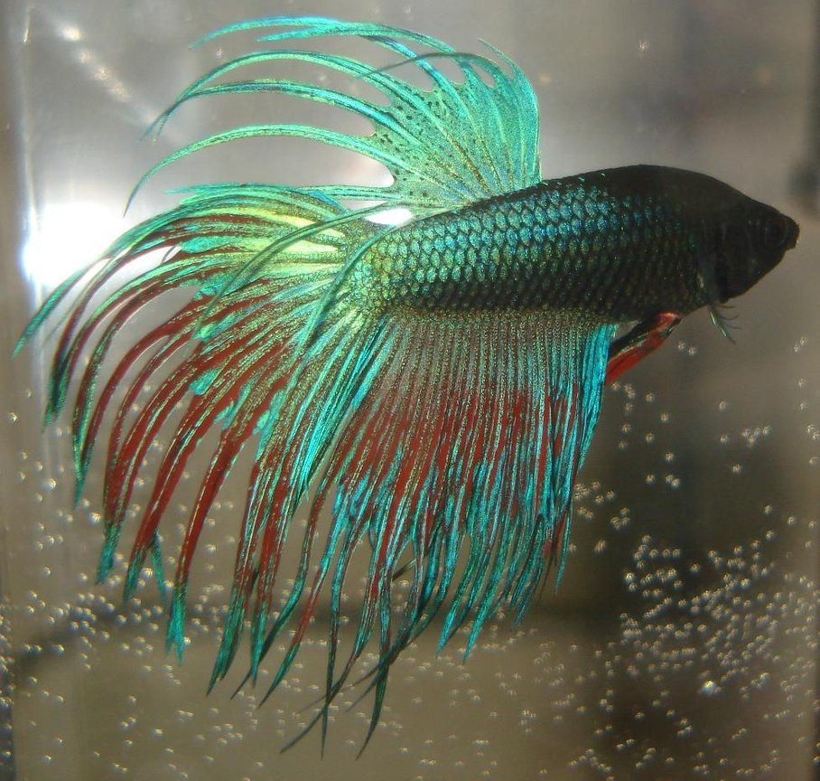 "freshwater fish - betta splendens - crown tail betta stocking in 55 gallons tank - Betta Splendens ""Crowntail"" male"