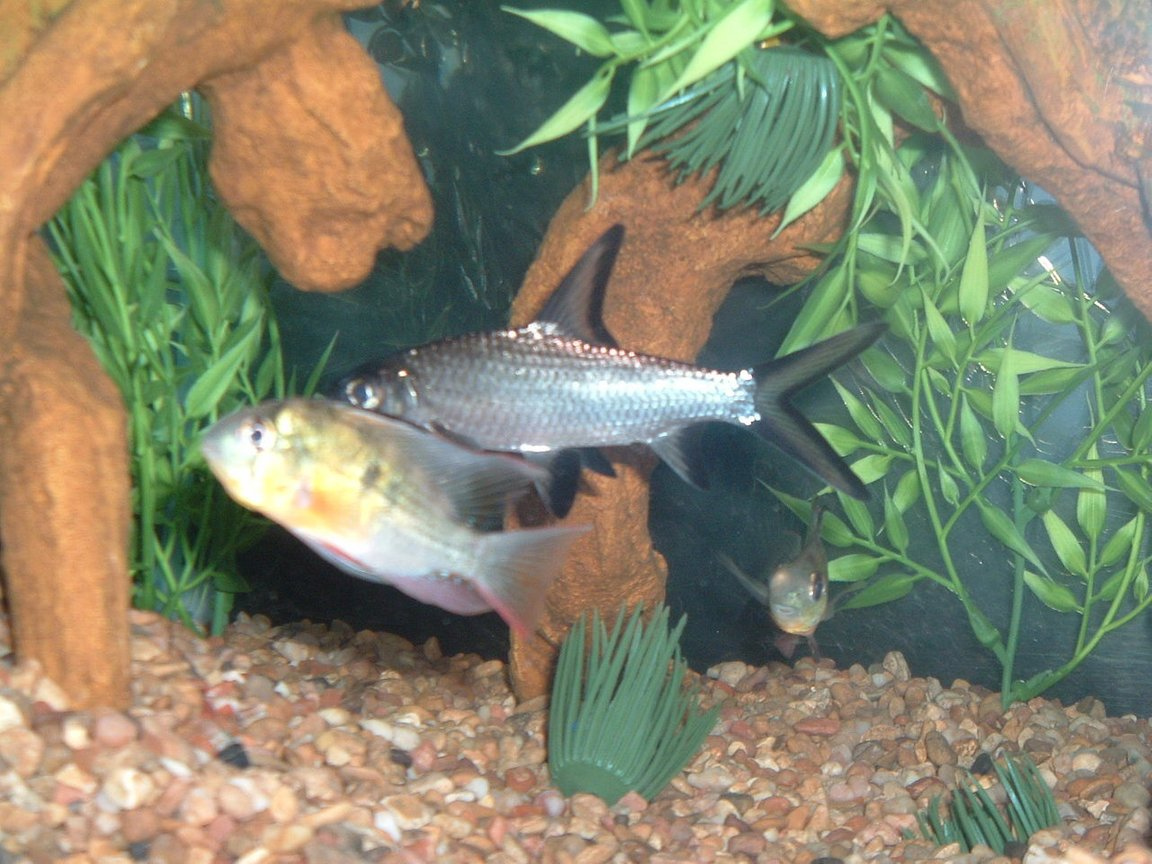 freshwater fish - microgeophagus altispinosa - bolivian ram stocking in 55 gallons tank - bala shark with bolivian ram