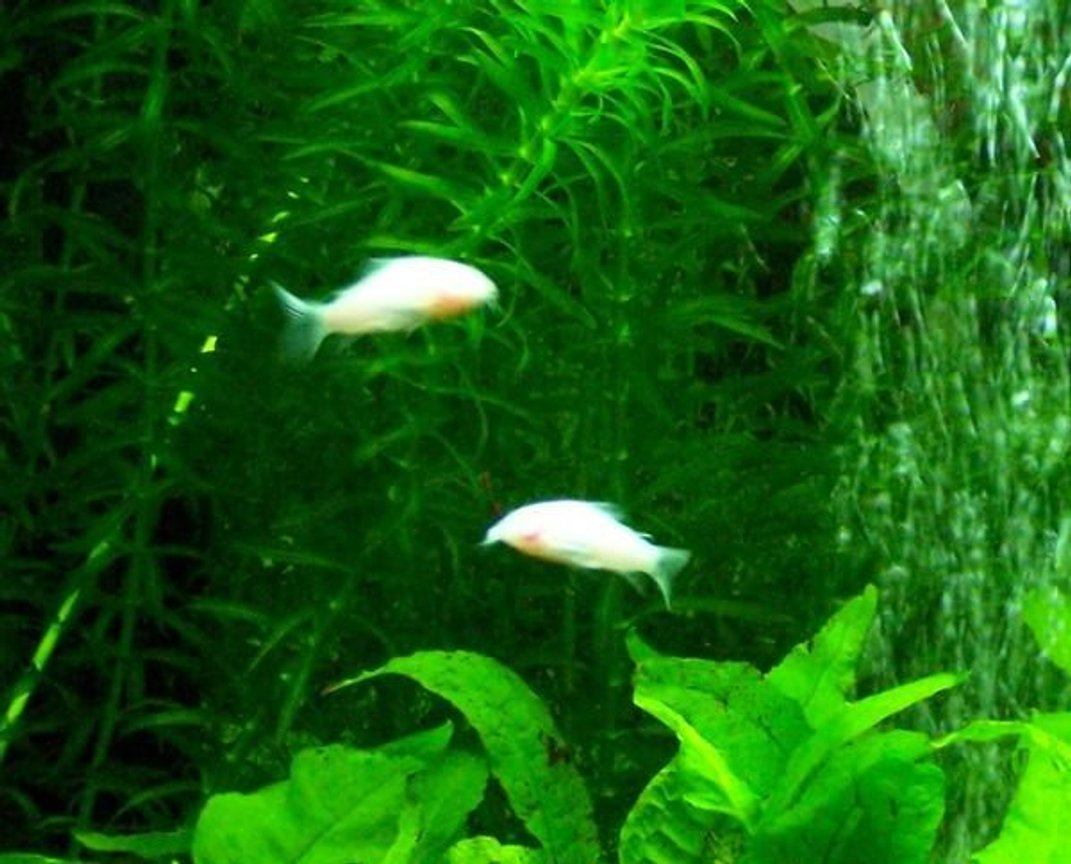 freshwater fish - corydoras aeneus - albino aeneus cory cat stocking in 60 gallons tank - best little fish, they're cool to look at and have a great nature to them, they race around the tank and are gentle as eva, great little dudes