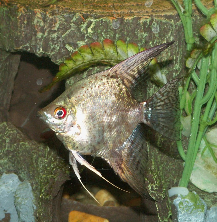 freshwater fish - pterophyllum sp. - gold veil angel stocking in 110 gallons tank - Angelfish