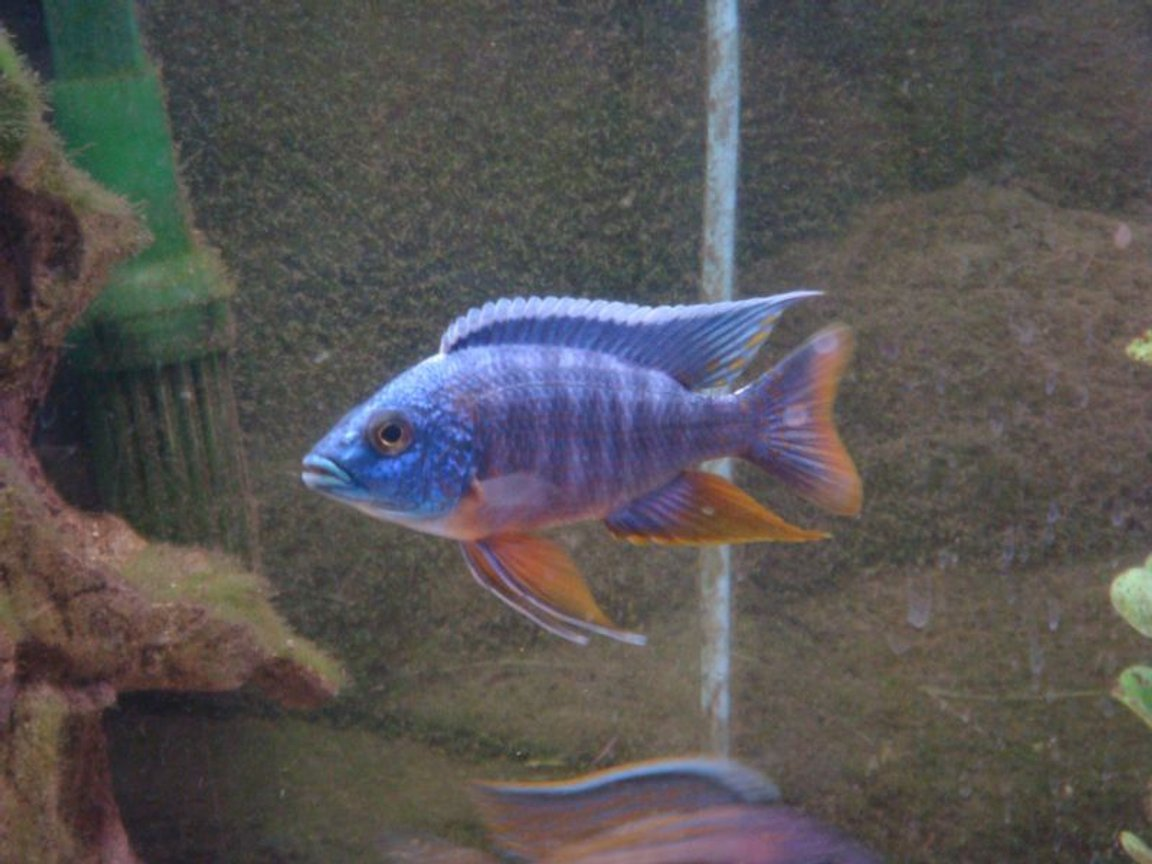 freshwater fish - aulonocara hansbaenschi - red peacock cichlid stocking in 125 gallons tank - blue peacock
