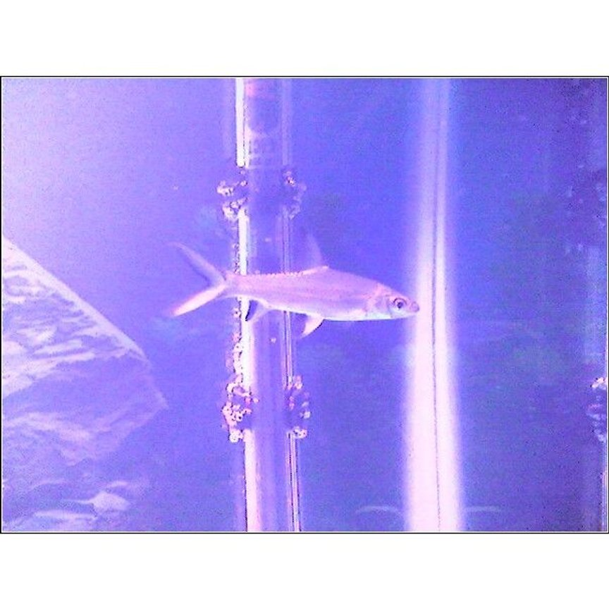 freshwater fish - balantiocheilus melanopterus - bala shark stocking in 30 gallons tank - white skirt tetra