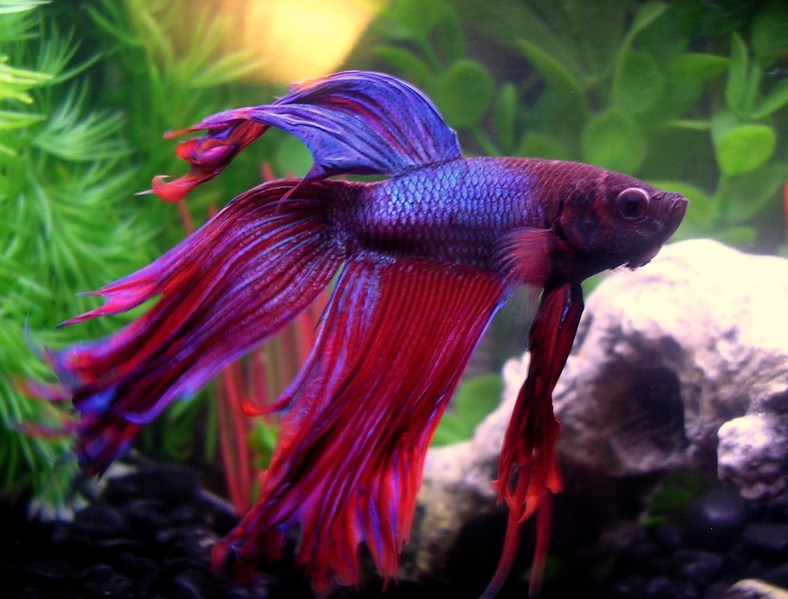 freshwater fish - betta splendens - betta - male stocking in 10 gallons tank - Meet Finley, my beautiful male Crowntail Betta in his 6.6 gallon, densely planted tank with driftwood. Update: Unfortunately he died suddenly, see his description up top.