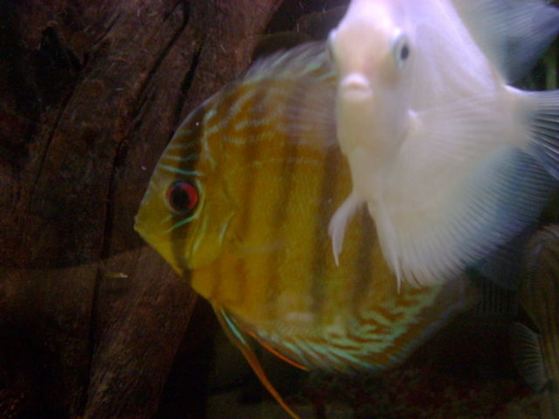 freshwater fish - symphysodon sp. - yellow marlboro discus stocking in 55 gallons tank - freshwater discus