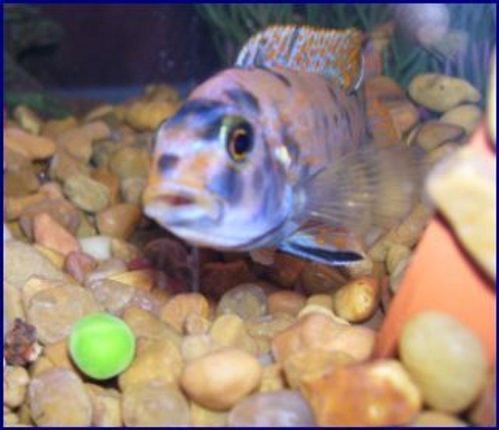 freshwater fish - labeotropheus fuelleborni - fuelleborni cichlid stocking in 55 gallons tank - I believe its a cory cat,, can someone help me, Id. this fish? They love frozen peas !!!
