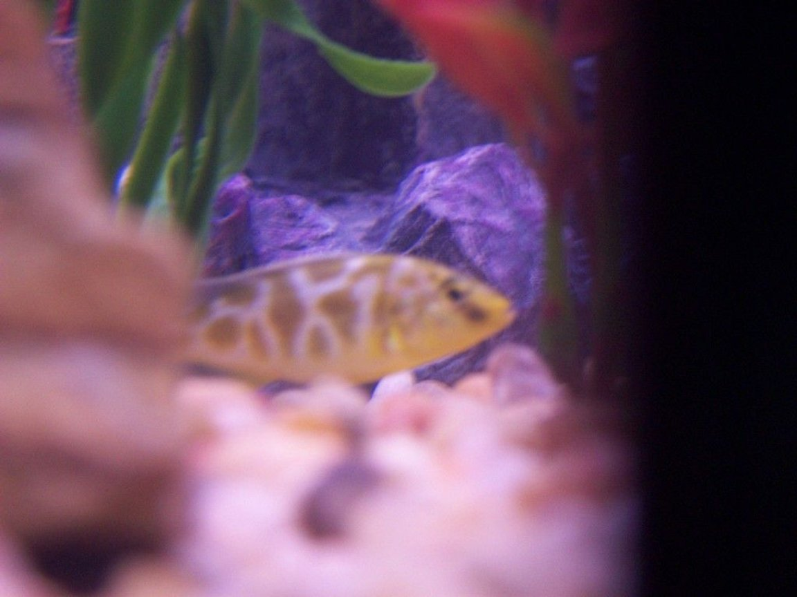 freshwater fish - nimbochromis venustus - venustus cichlid stocking in 46 gallons tank - Venustus cichlid in our 46G