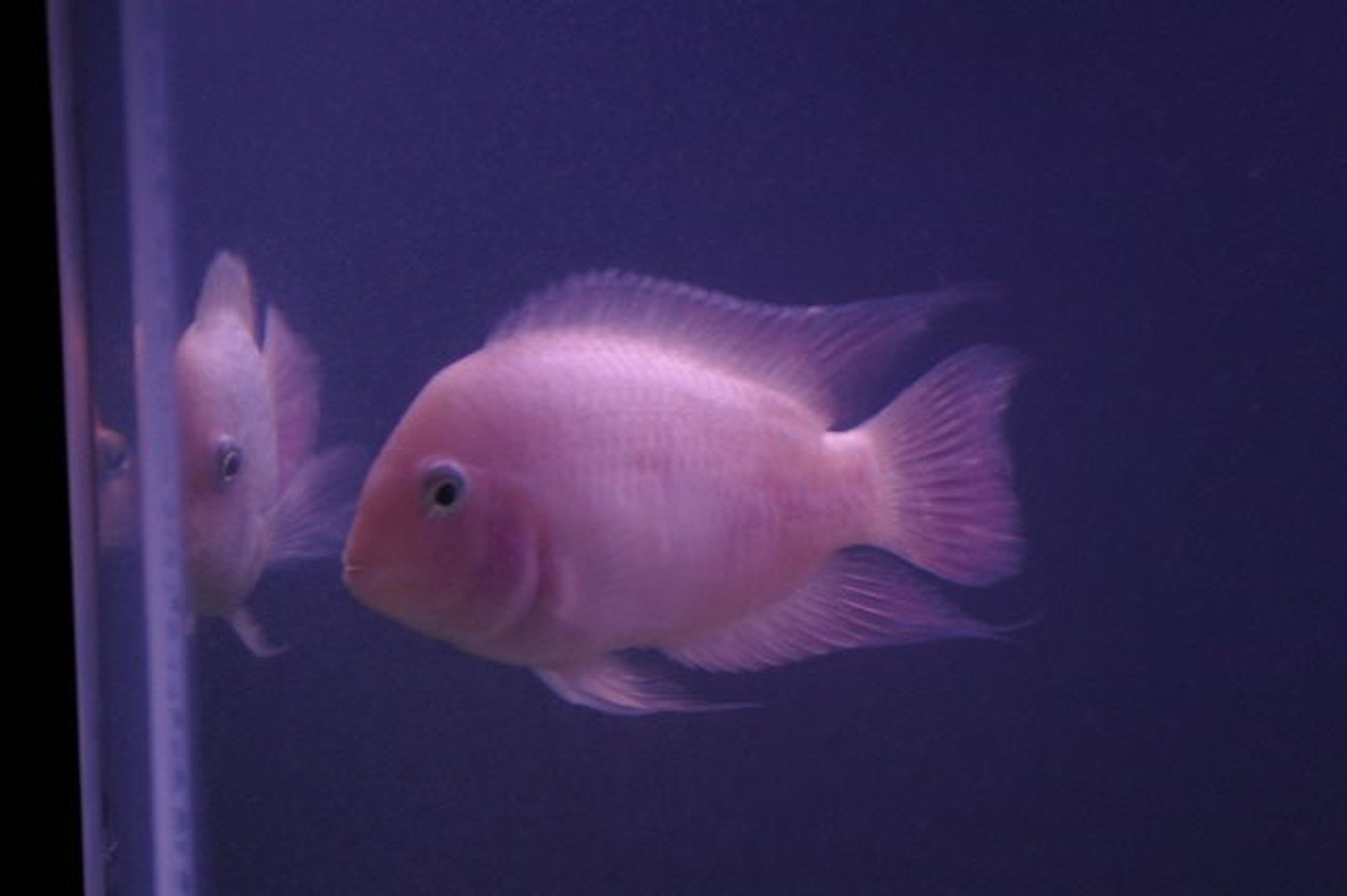 freshwater fish - archocentrus nigrofasciatus - pink convict cichlid stocking in 75 gallons tank - pink convict