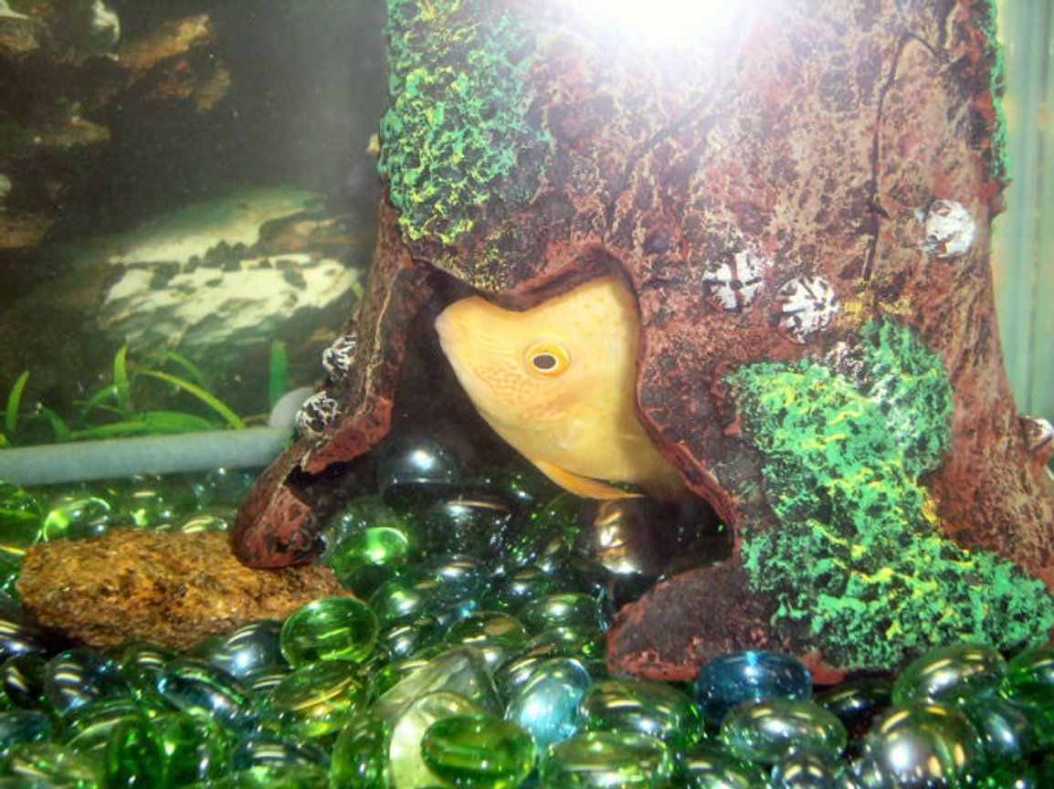 freshwater fish stocking in 30 gallons tank - Toe Jam likes to hide in his hideout, it suppose to resemble a bell.
