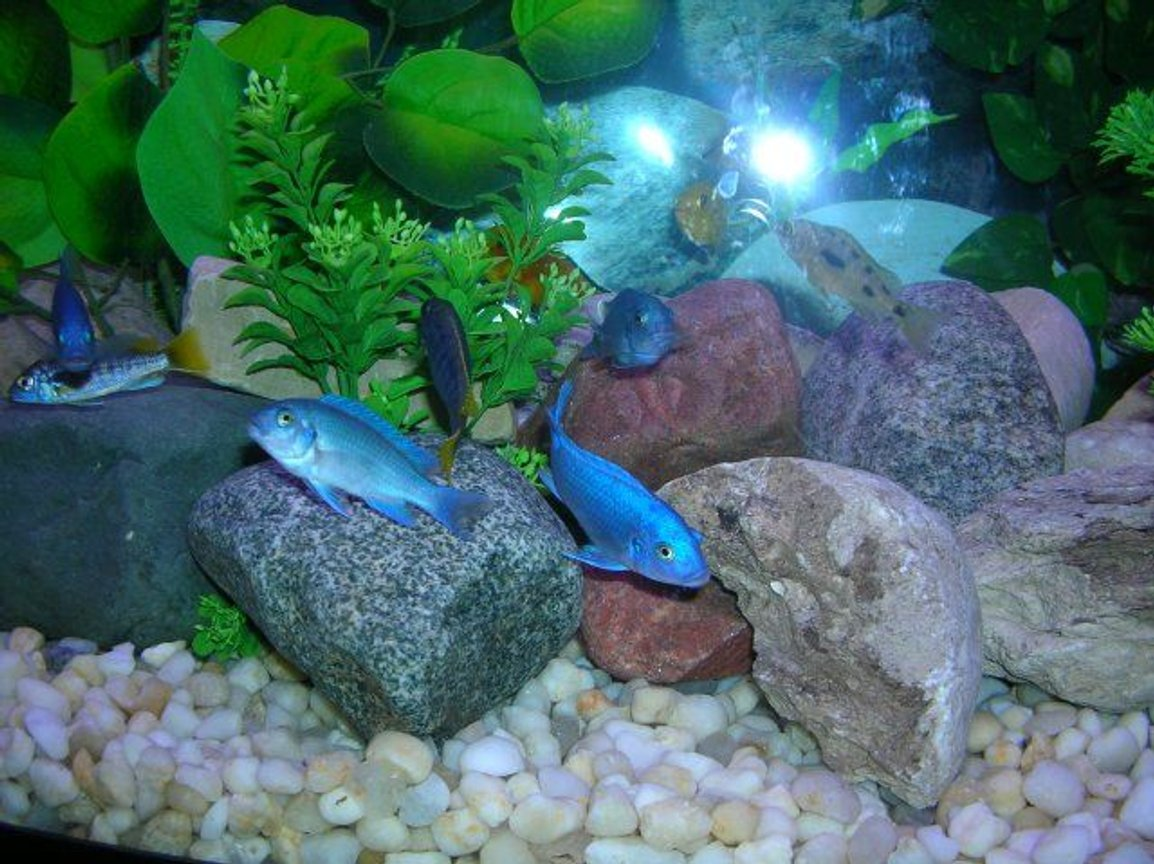 freshwater fish - maylandia callainos - blue cobalt cichlid stocking in 46 gallons tank - African Cichlids