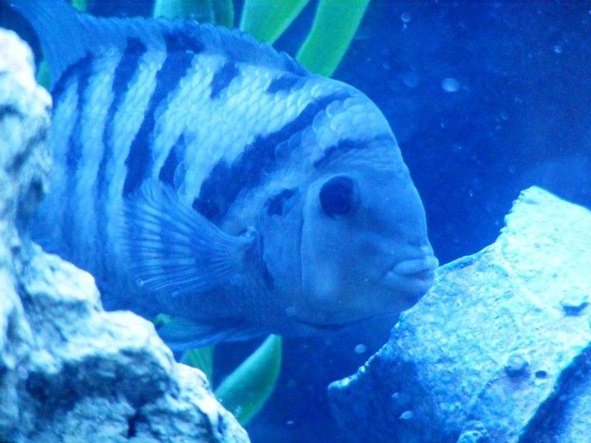 freshwater fish - archocentrus nigrofasciatus - black convict cichlid stocking in 55 gallons tank - This is George