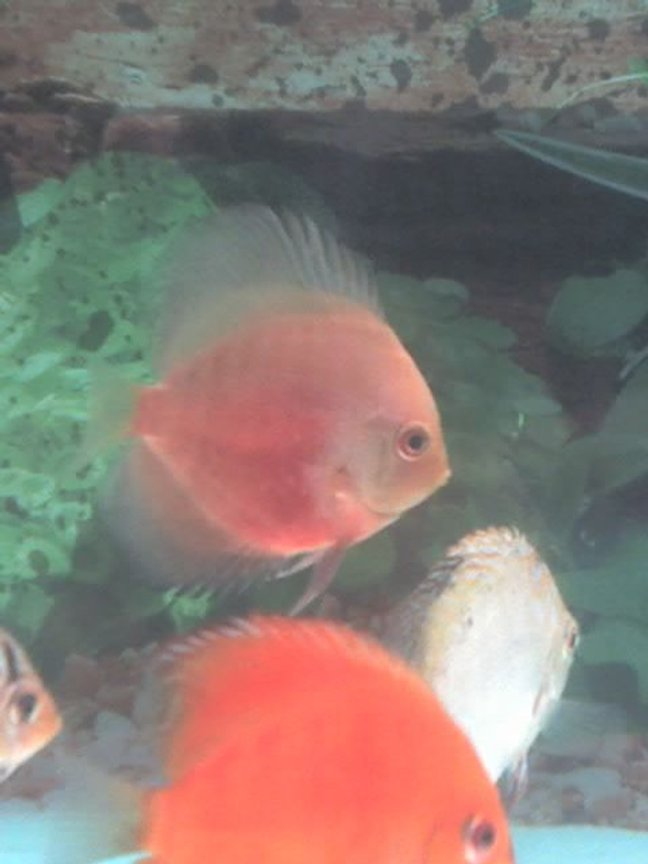 freshwater fish - symphysodon sp. - red marlboro discus stocking in 60 gallons tank - Yellow Red Discus