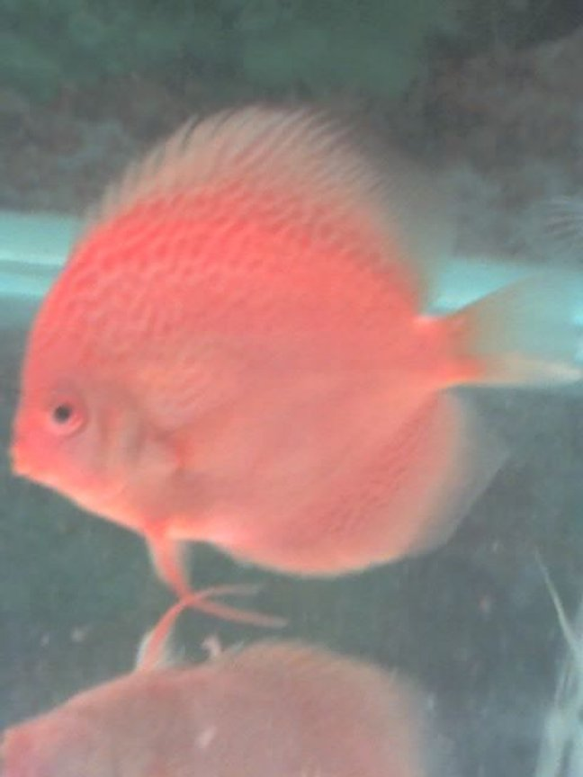 freshwater fish - spotted red discus stocking in 60 gallons tank - Spotted Red Discus