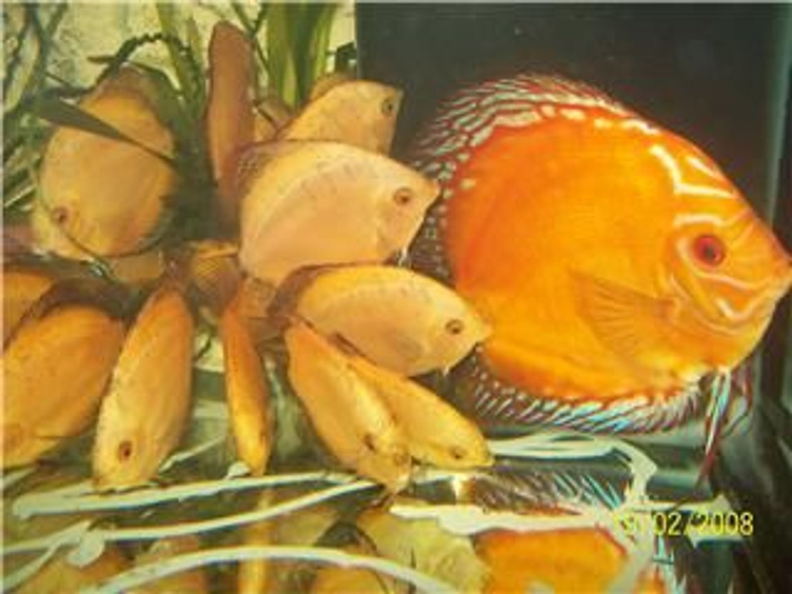 freshwater fish - symphysodon sp. - red marlboro discus stocking in 40 gallons tank - Baby discus Marlboro Red