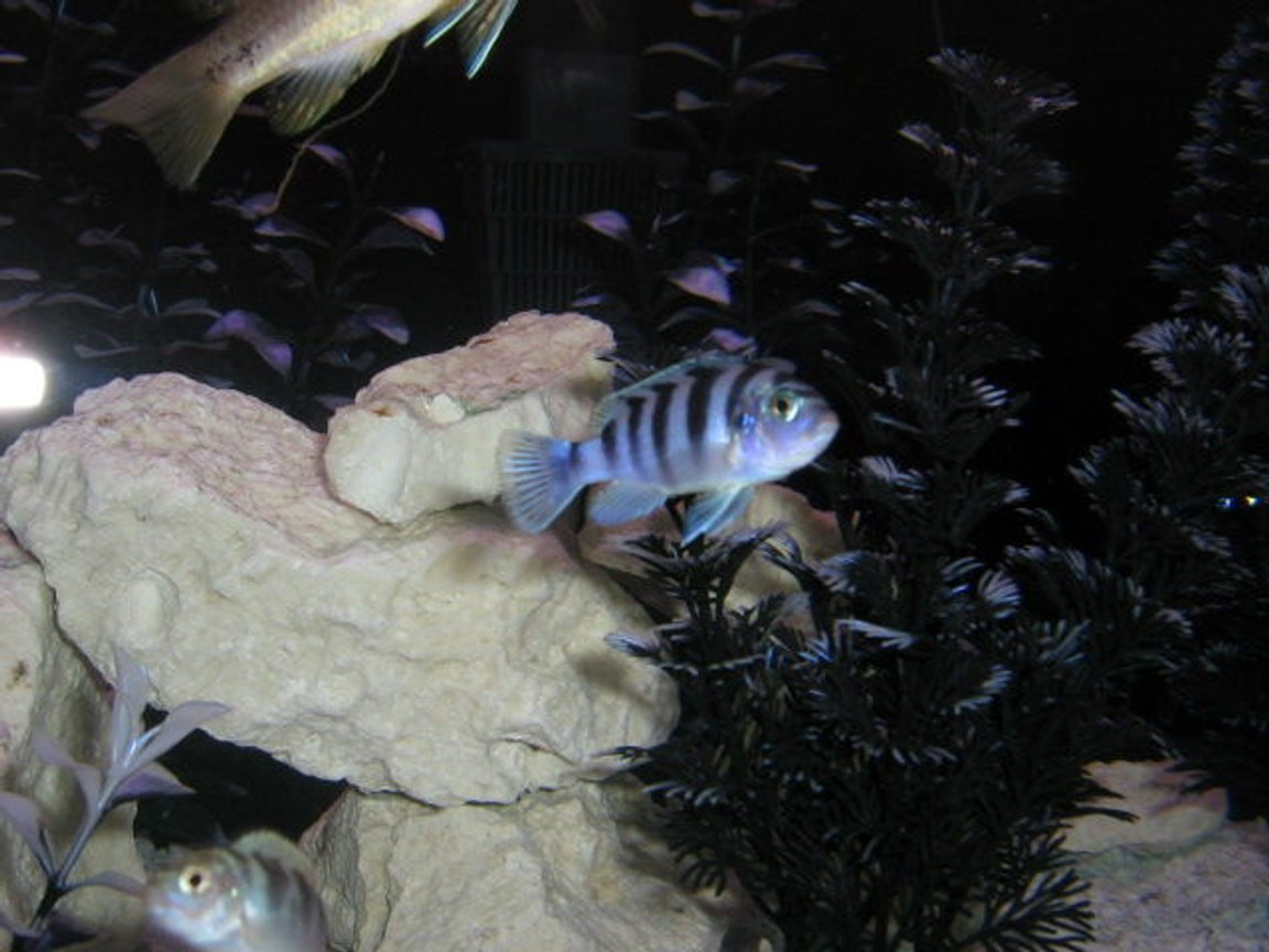 freshwater fish - metriaclima lombardoi - kenyi cichlid stocking in 72 gallons tank - heres one pic, I have more but the files are too big..