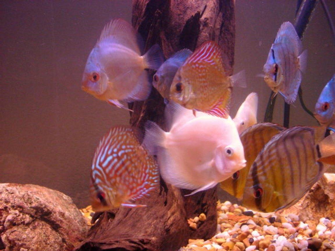 freshwater fish - symphysodon sp. - white discus stocking in 55 gallons tank - discus