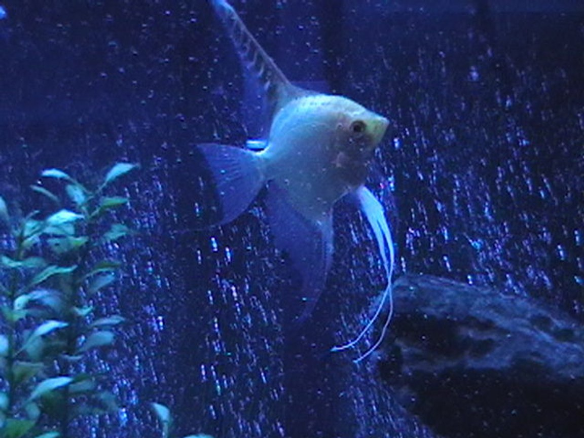 freshwater fish - pterophyllum sp. - gold veil angel stocking in 29 gallons tank - Angelfish with lunar lighting.