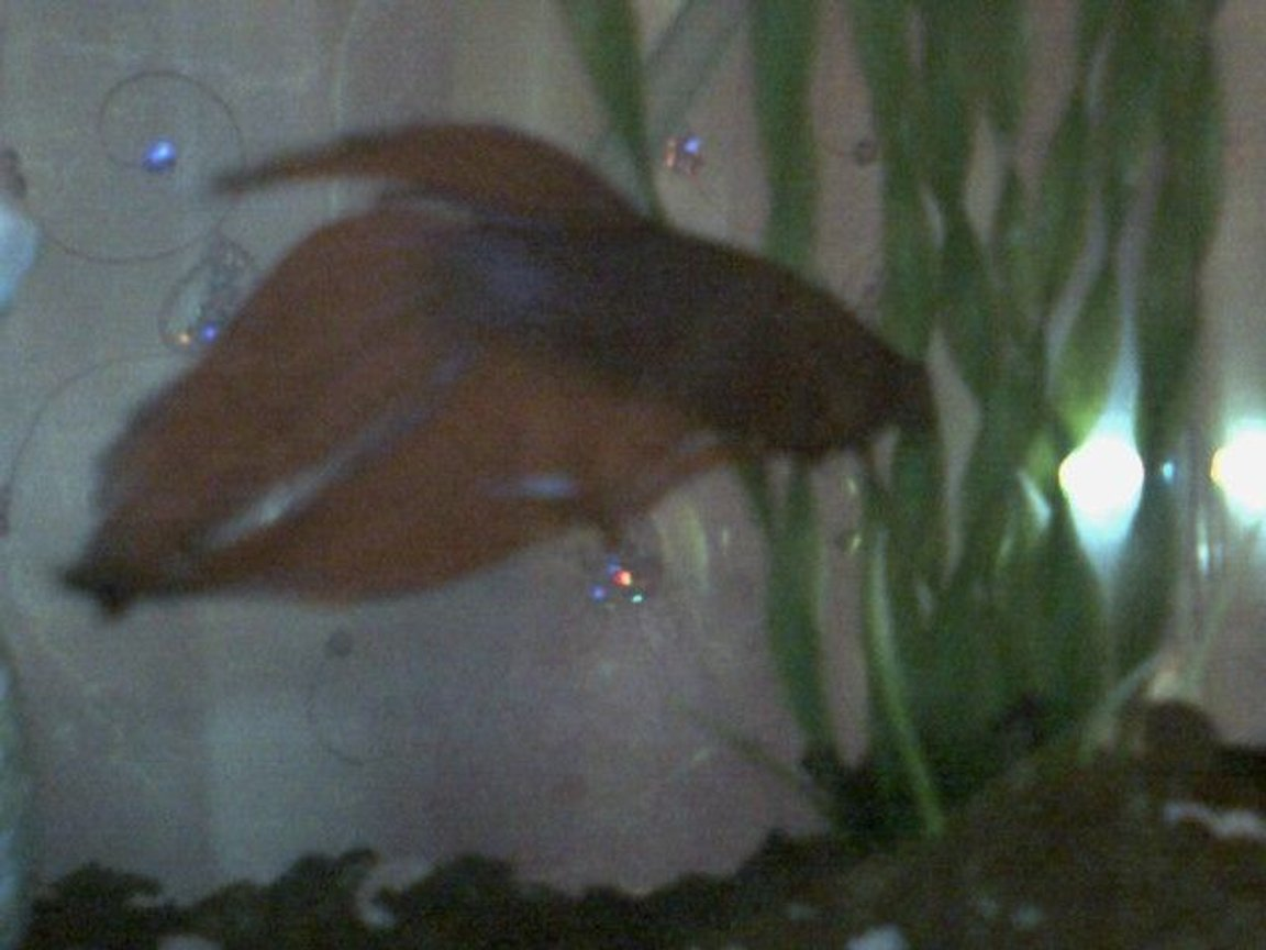 freshwater fish - betta splendens - betta - male stocking in 2 gallons tank - Garter and his plant