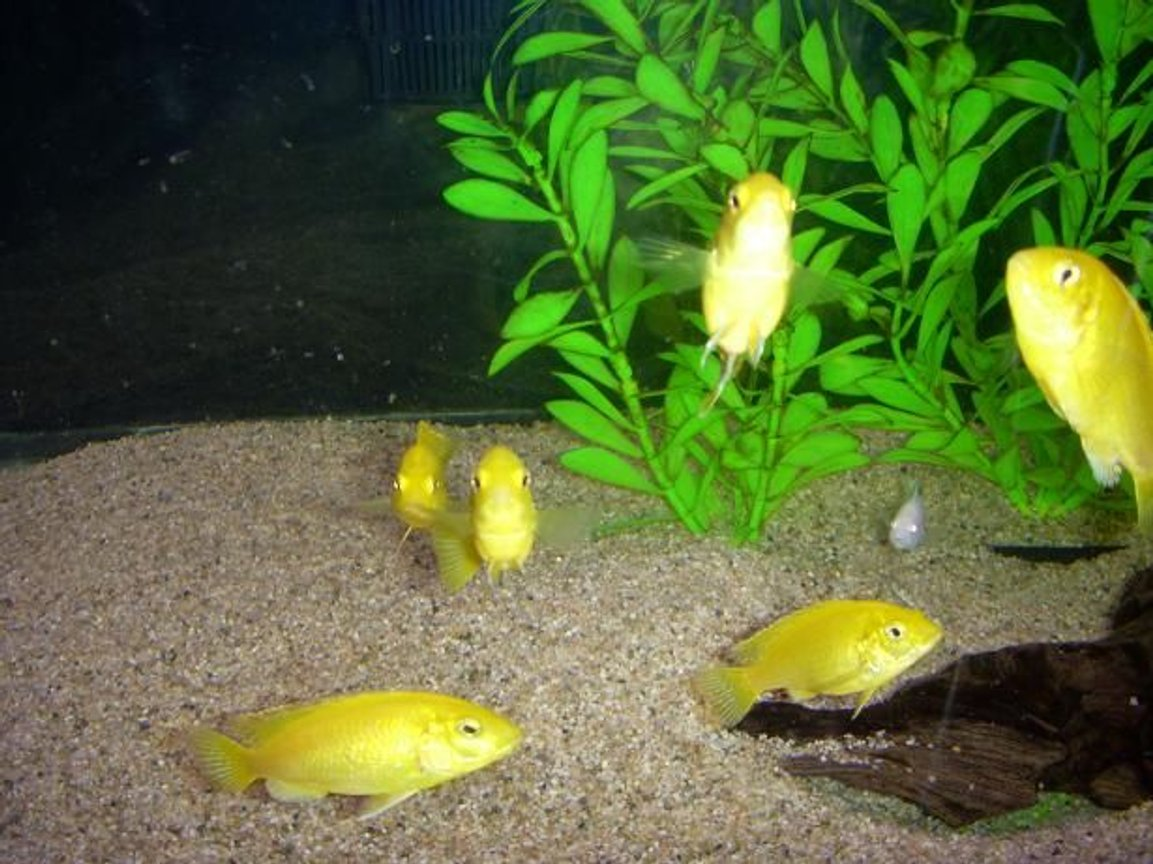 freshwater fish - labidochromis caeruleus - electric yellow cichlid stocking in 55 gallons tank - My Cichlids