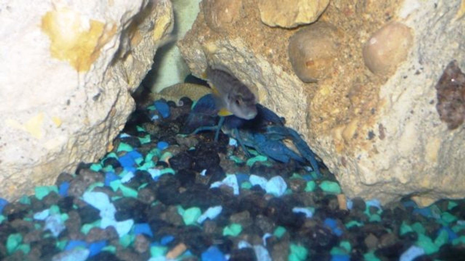 freshwater fish - pseudotropheus acei - acei cichlid stocking in 50 gallons tank - ..here is one of the aceis and the electric blue lobster..