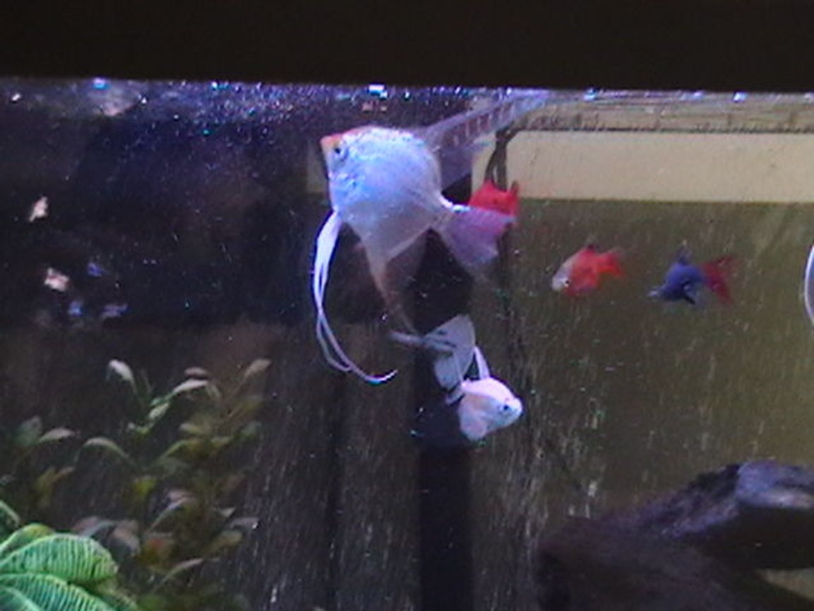 freshwater fish - pterophyllum sp. - albino angel stocking in 29 gallons tank - Angelfish and others