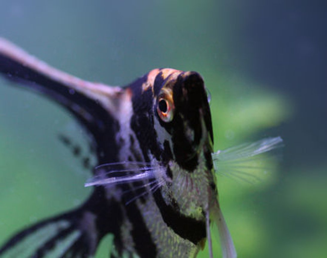 freshwater fish - pterophyllum sp. - koi angel stocking in 20 gallons tank - My angel dancing