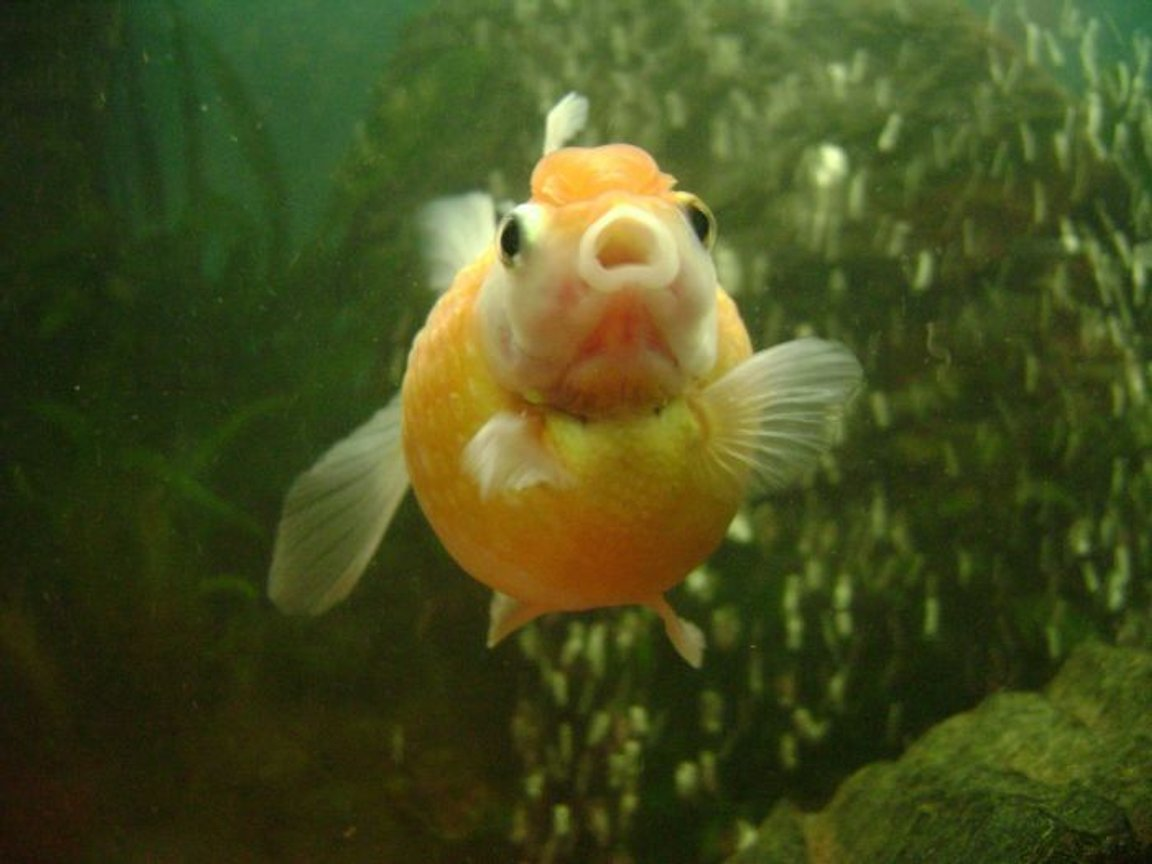 freshwater fish - carassius auratus - crown pearlscale goldfish stocking in 30 gallons tank - pearl scale goldfish 2