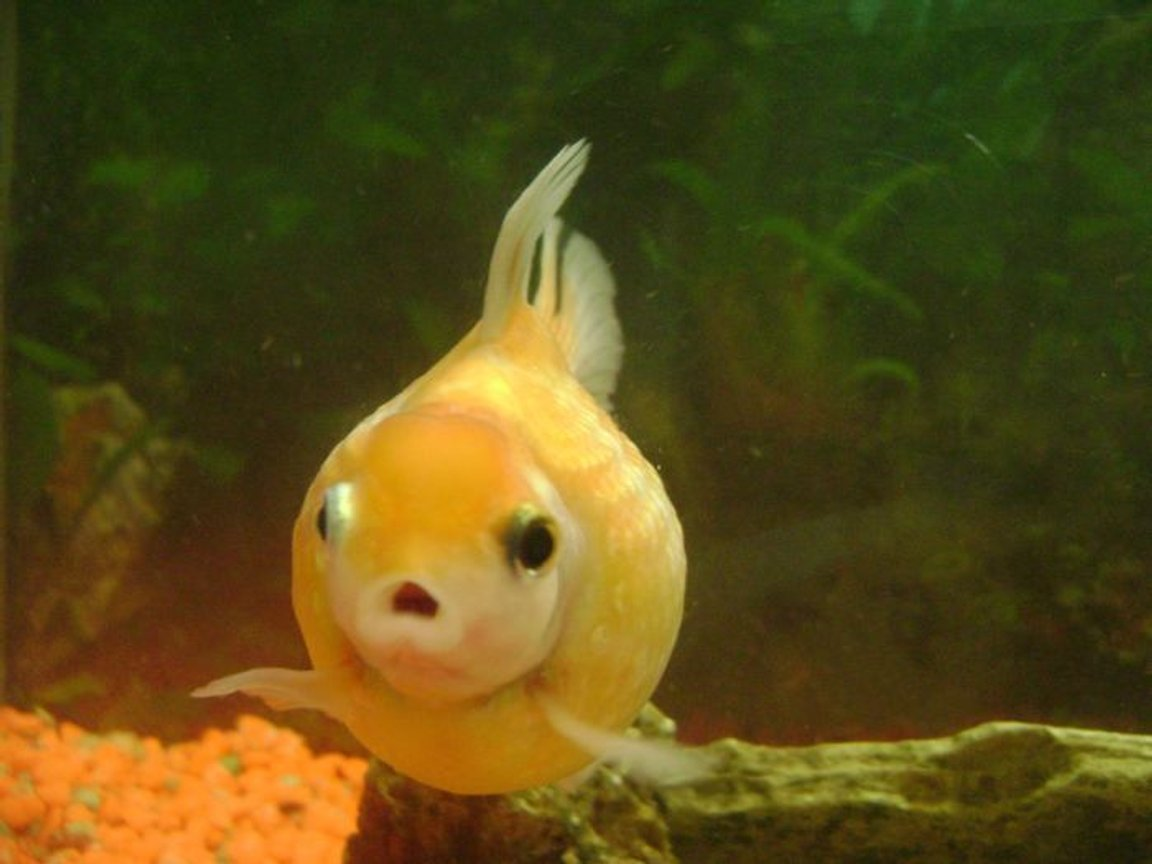 freshwater fish - carassius auratus - crown pearlscale goldfish stocking in 30 gallons tank - pearl scale goldfish 3