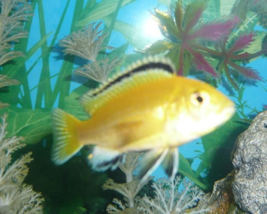 freshwater fish - labidochromis caeruleus - electric yellow cichlid stocking in 75 gallons tank - Yellow lab....