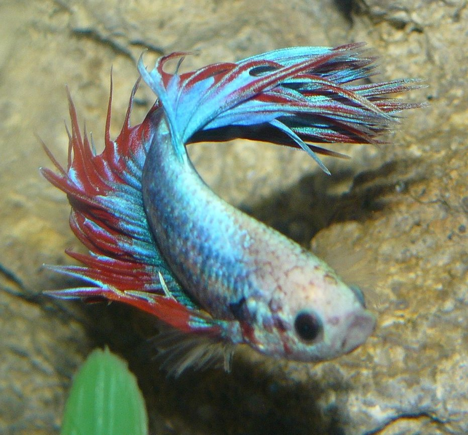 freshwater fish - betta splendens - crown tail betta stocking in 29 gallons tank - Crown Beta Blue/Red