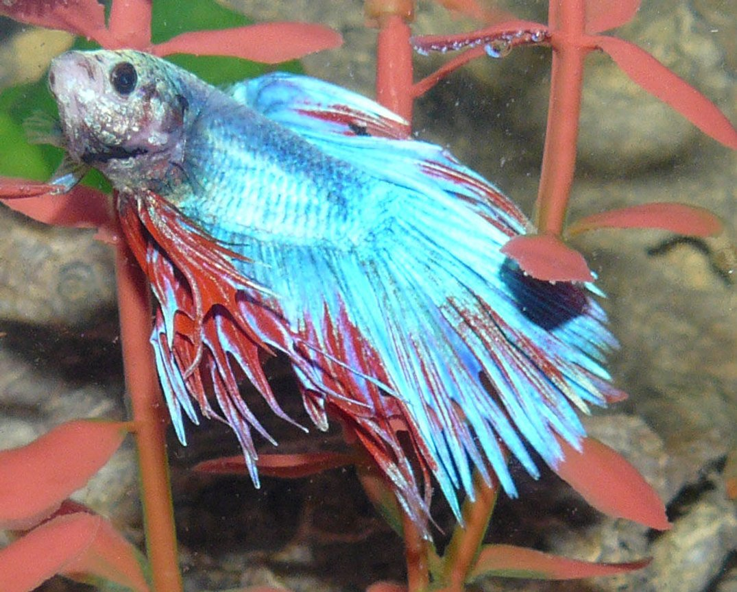 freshwater fish - betta splendens - crown tail betta stocking in 29 gallons tank - Crown Fin