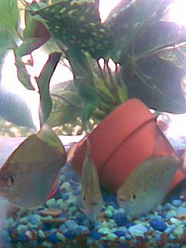 freshwater fish - metynnis argenteus - silver dollar stocking in 125 gallons tank - Silver Dollars, The 3 musketeers