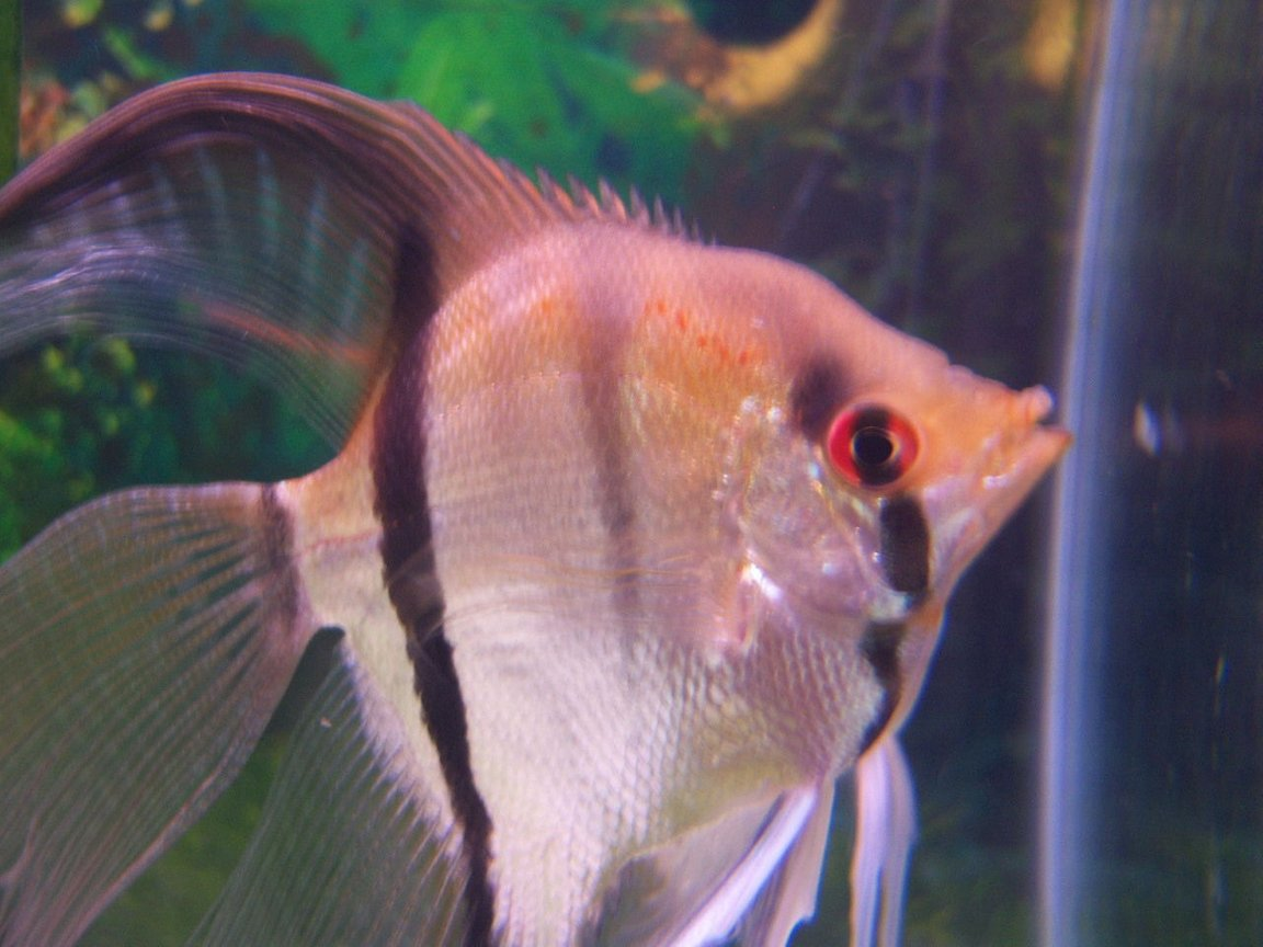 freshwater fish - pterophyllum sp. - silver zebra angel stocking in 46 gallons tank - my red eye angel fish