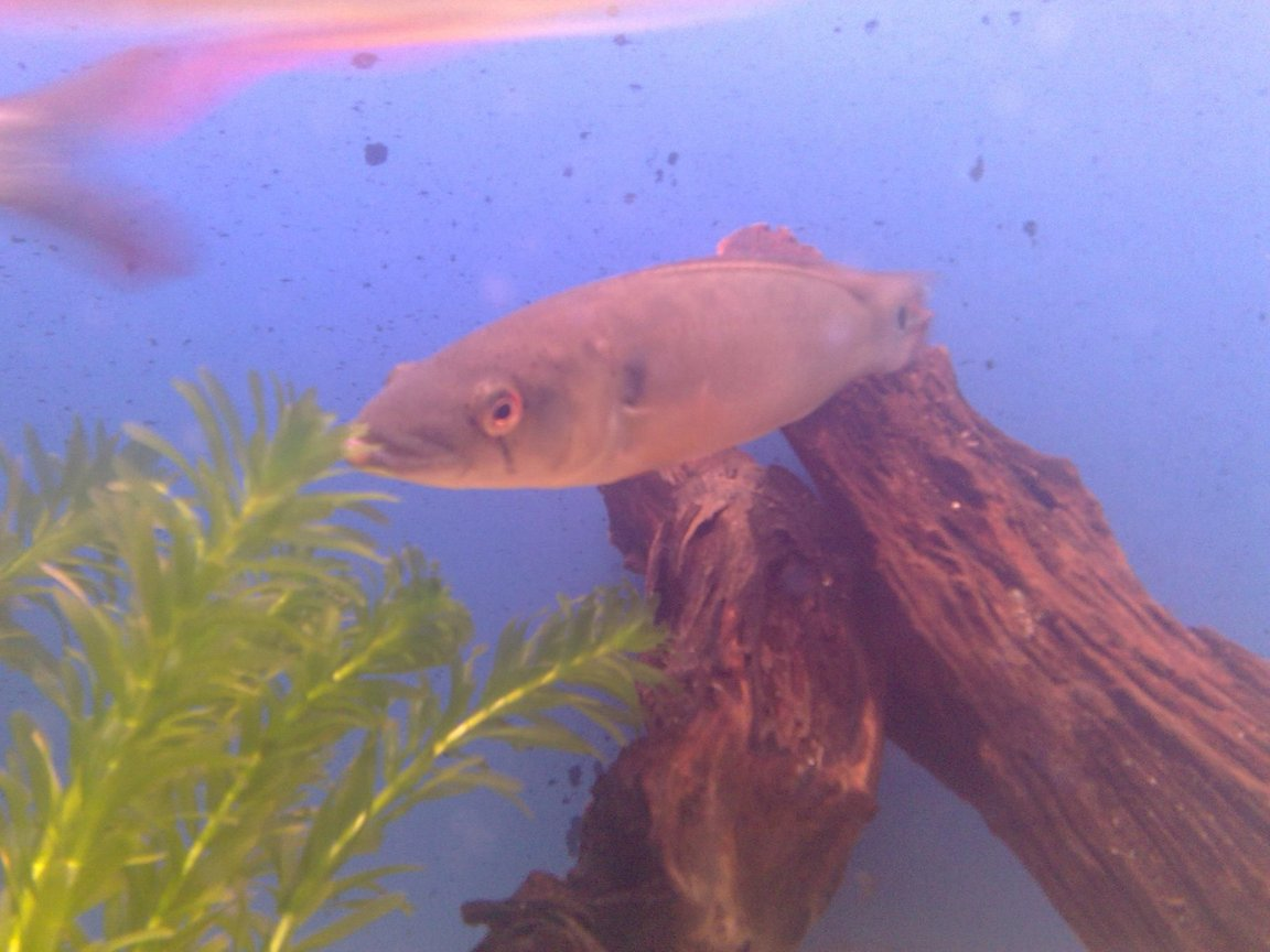 freshwater fish - crenichichla proteus - pike cichlid stocking in 150 gallons tank - my pike chiclid, 1'1""