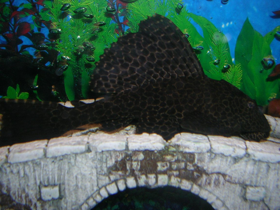 freshwater fish - hypostomus punctatus - trinidad pleco stocking in 55 gallons tank - placo