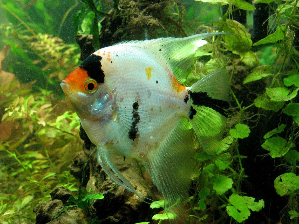 freshwater fish - pterophyllum sp. - koi angel stocking in 55 gallons tank - Koi Angel in my planted tank