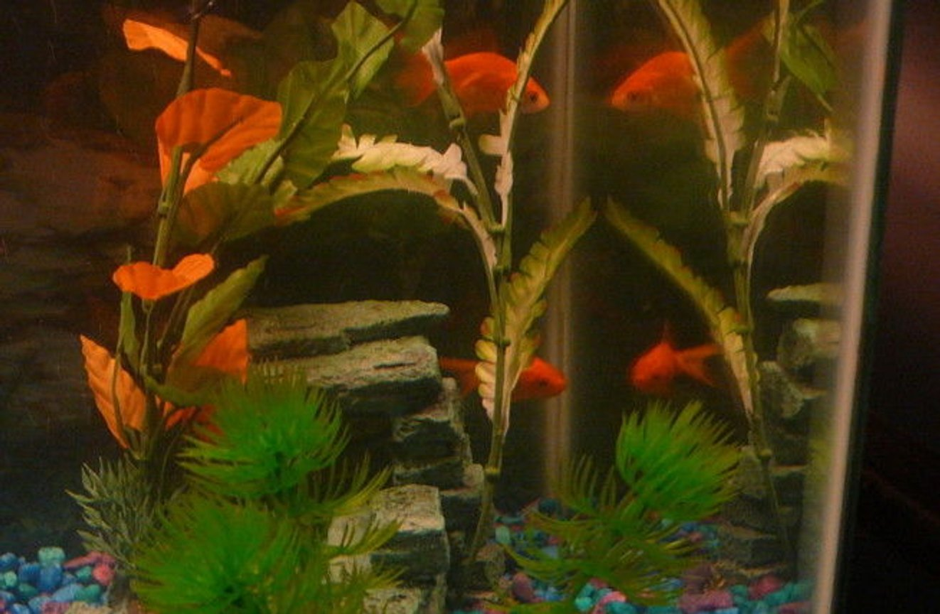 freshwater fish - carassius auratus - fantail goldfish stocking in 10 gallons tank - my two goldfish (tetris and darcey) looking at there reflections. : D Tetris is on the top and Darcey is on the bottom.