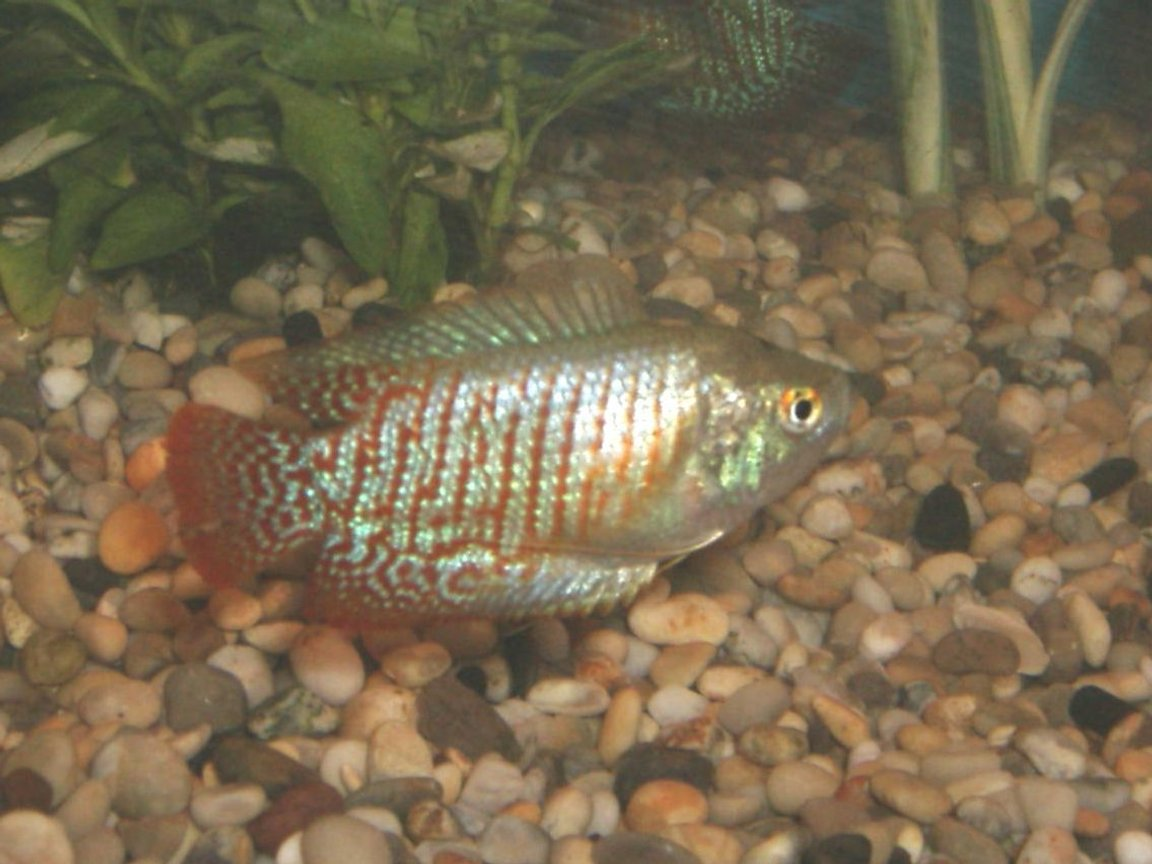 freshwater fish - colisa lalia - dwarf gourami stocking in 90 gallons tank - Drawf Gourami lovely and peaceful but can bully his smaller pal