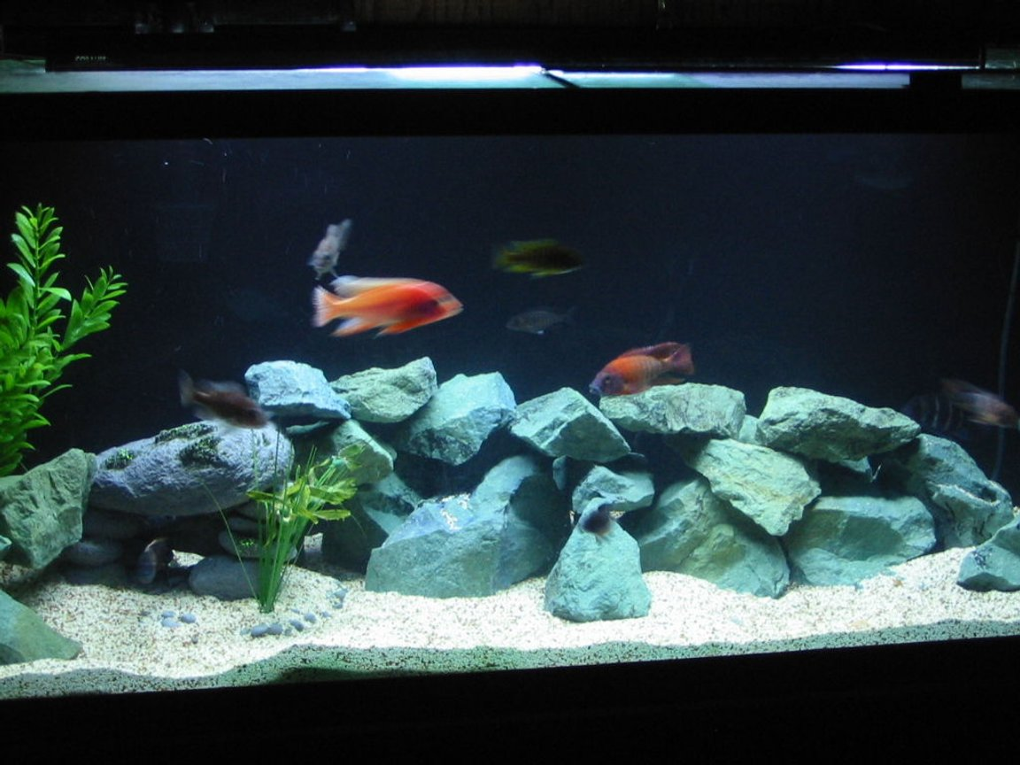 freshwater fish - aulonocara rubescens - ruby red peacock stocking in 75 gallons tank - black background